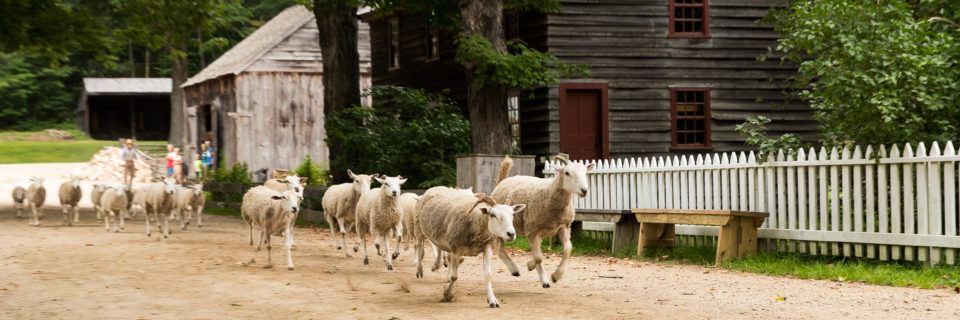 Sheep Running