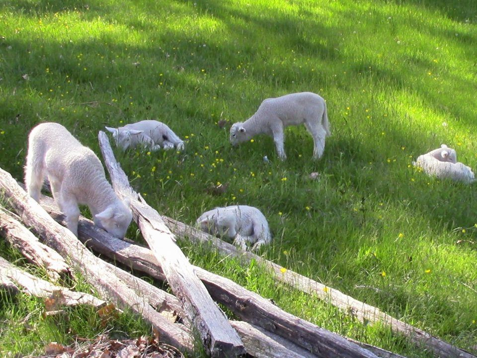 Spring Lambs in the Field