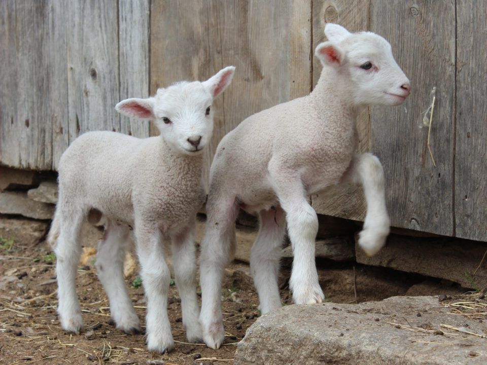 A couple young lambs