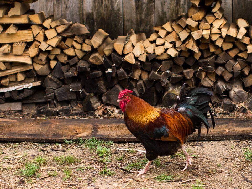 A Dunghill Fowl Chicken in front of a wood pile