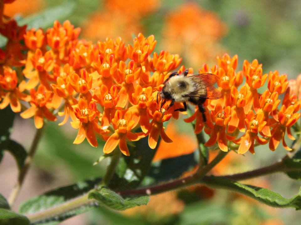 A bee on orange flowers
