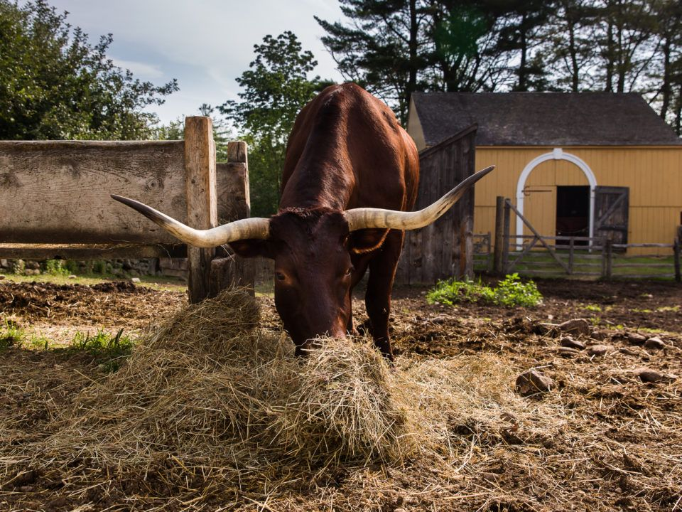 An Ox Eating Hay