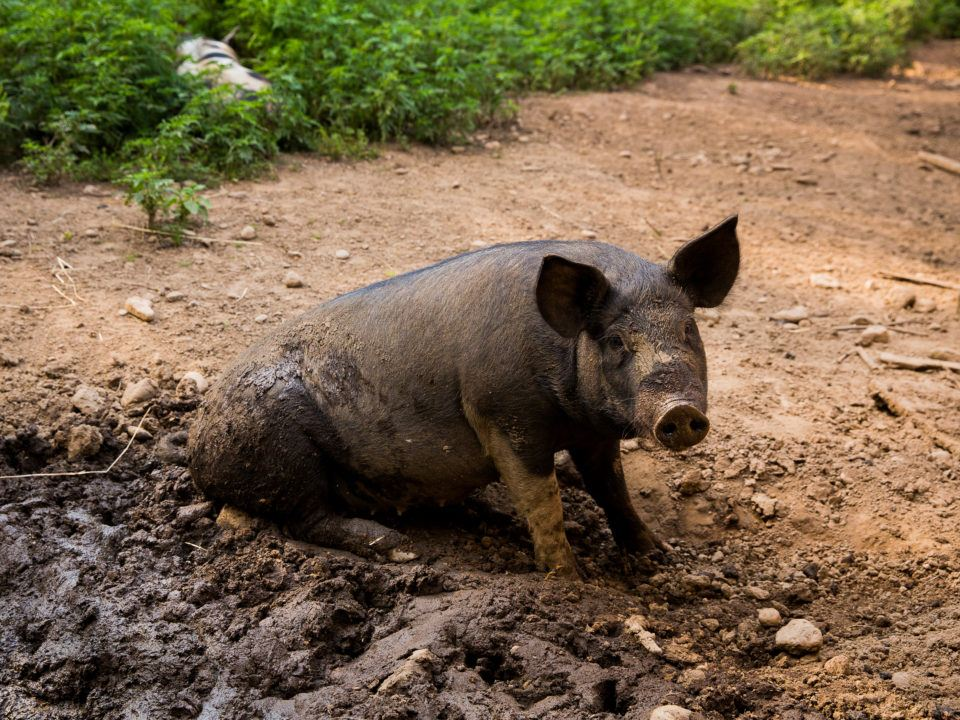 English Black Pig Sitting in the Mud