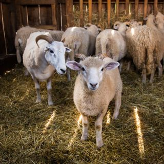 Sheep in the barn at Old Sturbridge Village