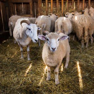 Sheep in the barn at Old Sturbridge Village