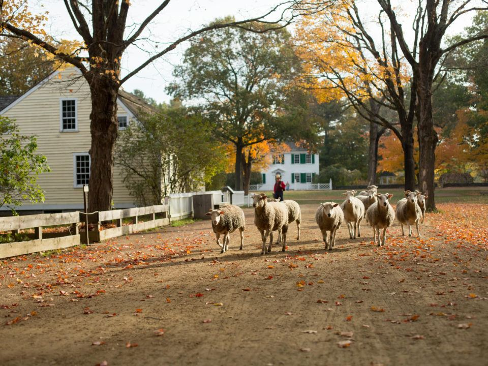 Sheep by the Common in fall