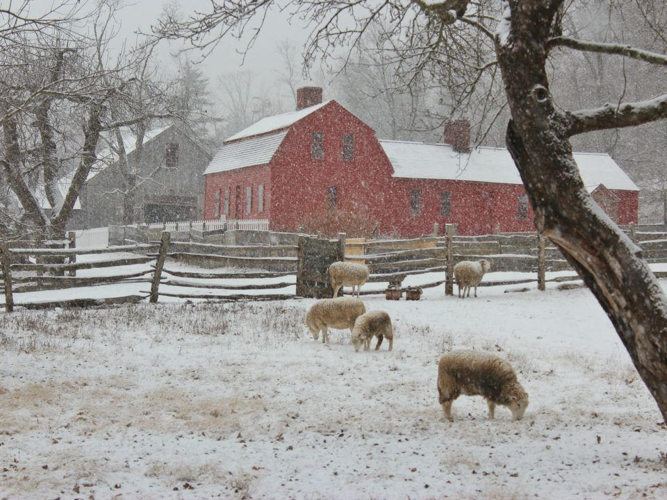 Sheep by the Freeman Farm on a snowy day