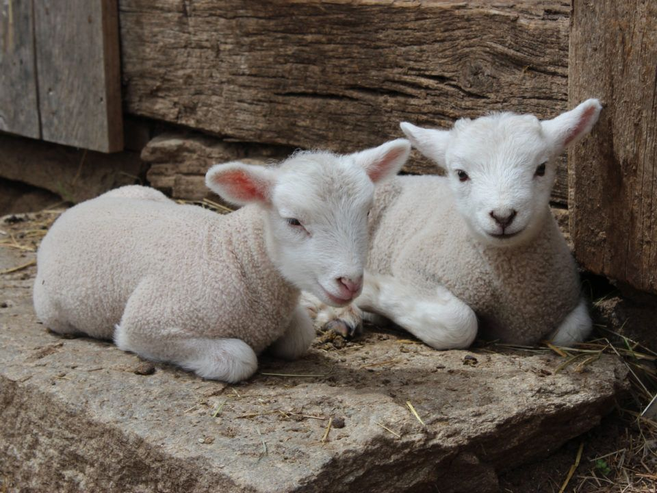 Two lambs on the Freeman Farm