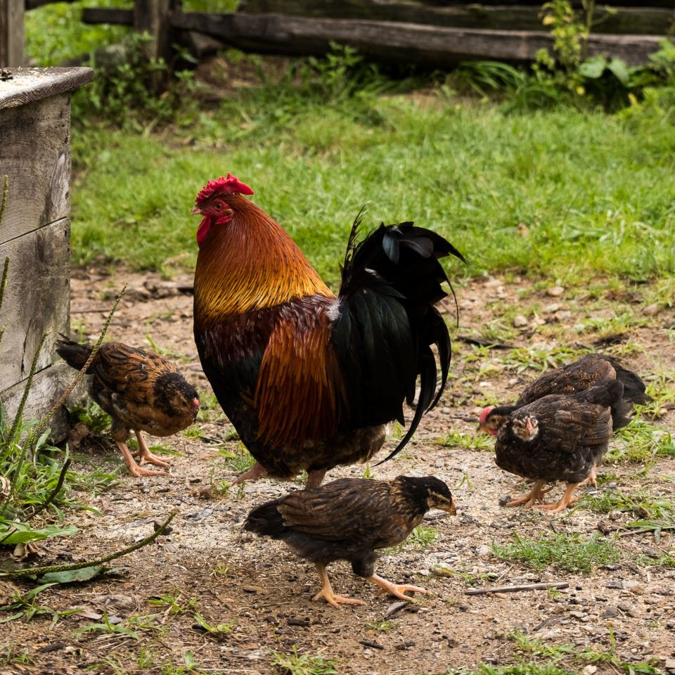An adult chicken surrounded by 3 chicks at Old Sturbridge Village