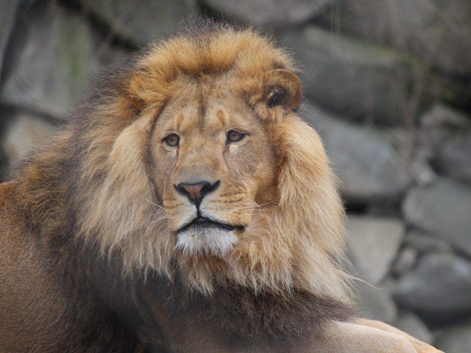A lion at Southwick Zoo