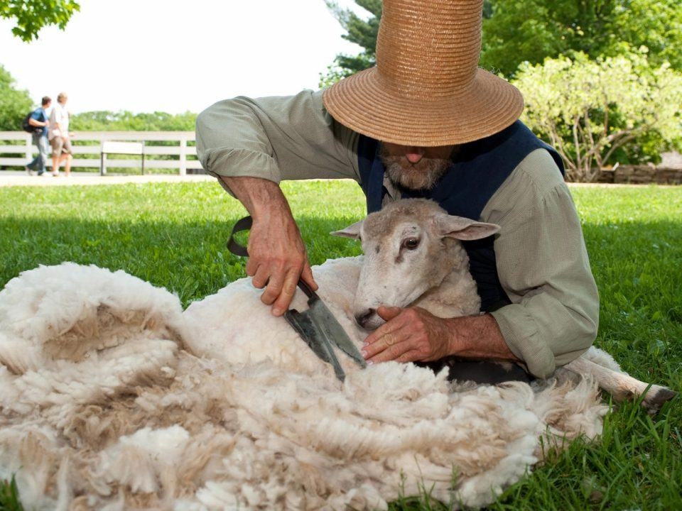 A costumed historian shears a sheep