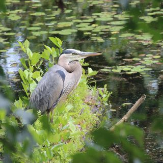 Heron at the Village