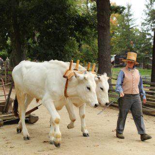 Guest Oxen