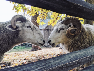 Two sheep face to face