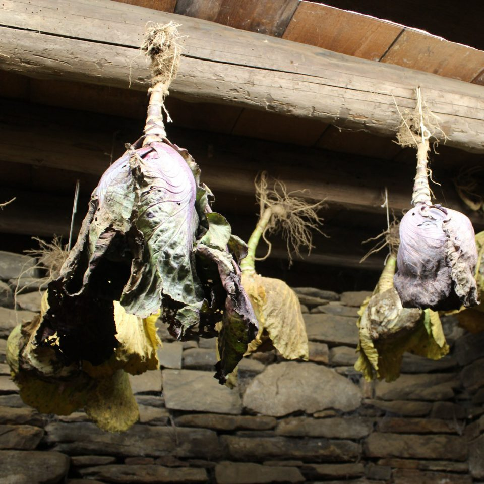 cabbages hanging from the ceiling of the root cellar