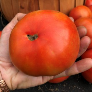 Large red tomato held in hand