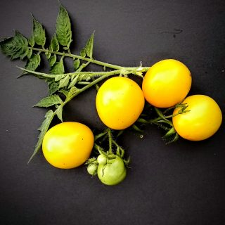 bright yellow tomatoes on a vine
